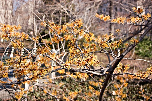 Witch Hazel March 4 2011
