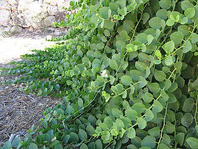 Kapernpflanze auf Malta