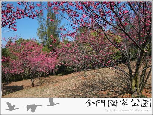 乳山櫻花開(2011年).jpg