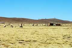 Grassland of Altiplano (Gregor  Samsa) Tags: autumn field grass view llama bolivia overlook grassland llamas altiplano