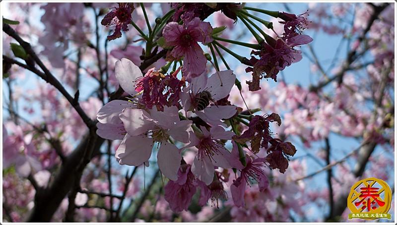 烘爐地櫻花+拜拜 (4)
