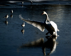 on thin ice (Ronnie jimmy) Tags: swans rons bestofblinkwinners