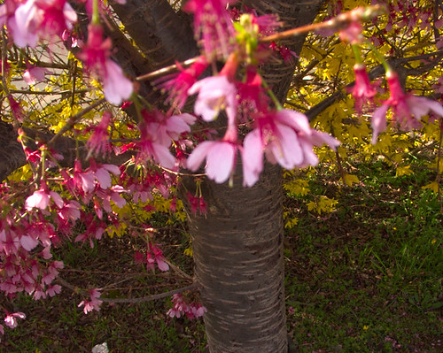 Japanese Kwanza Cherry Branch