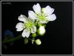 Dionaea muscipula (Hasan Ataç) Tags: