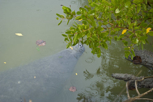 hello mr. manatee