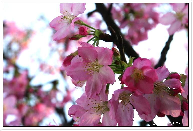 櫻花 (17)