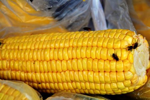 corn and flies