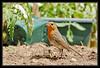 Rouge gorge (Alauny) Tags: bird robin oiseau oiseaux rougegorge freedomtosoarlevel1birdphotosonly freedomtosoarlevel2birdphotosonly freedomtosoarlevel3birdphotosonly freedomtosoarlevel3birdsonly freedomtosoarlevel2birdsonly freedomtosoarlevel3birsdonly