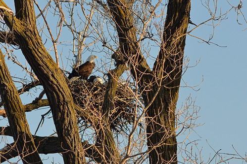 Bald Eagles on Nest DSC_5898