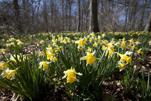Wild Daffodils (Narcissus pseudonarcissus)