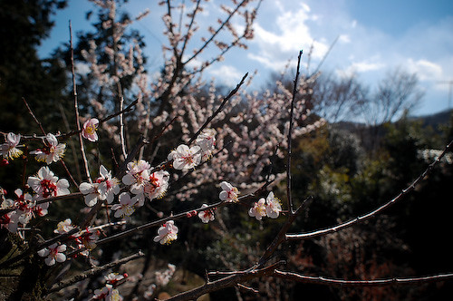 20110326yamasakura2549