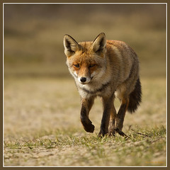 Fox (tonvandeacker) Tags: nature netherlands wildlife fox vos coth supershot canon7d canon400f56usm