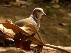 P1150713 (babsybou) Tags: travel india birds silent watching kerala du valley yatra sud inde attapadi birdswatching babsybou malleeshwaramjunglelodge pettickal