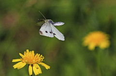 Cabbage White : Decision . Decision .. Decision ... (Clement Tang ** Busy **) Tags: morning flower nature floral butterfly insect inflight feeding wildlife australia victoria dandelion pierisrapae cabbagewhite closetonature concordians candlebarkpark