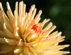 A Small Piece Of The Sun (bigbrowneyez) Tags: light orange sun flower macro nature petals juicy beige glow bright highlights fresh glowing fabulous joyous uplifting twotoned feelinggood litpetals asmallpieceofthesun warmcenter