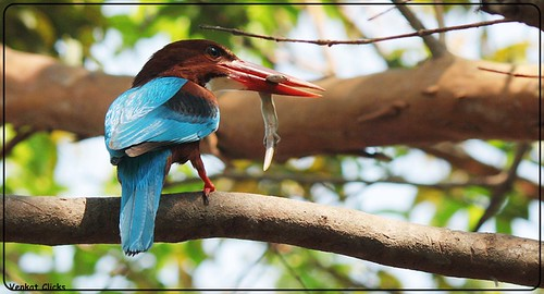 King Fisher - Shortage of fish by VenkatClicks