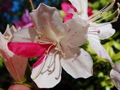 variegated azalea flower (Martin LaBar) Tags: red white flower beautiful flor southcarolina rhododendron ericaceae variegated azalea lovely hermosa variegation pickenscounty