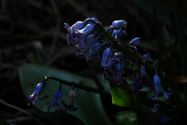 hyacinths final glory