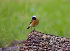 Redstart (Codirosso) (unicoletti) Tags: wood family italy green bird grass rain fly spring backyard may bugs vicenza redstart veneto 2011 trissino codirosso younglins corussolo