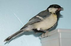 DSC05200 (GotikAngel) Tags: bird oiseau msange gustave