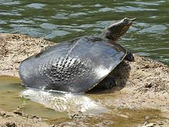 Softshell Turtle (U.S. Fish and Wildlife Service - Midwest Region) Tags: wildlife nature animals summer fall missouri mo neosho nfh hatchery nationalfishhatchery turtle turtles softshell
