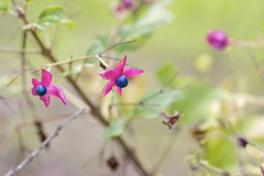 Clerodendrum trichotomum (Jim Mayes) Tags: canon eos digital 90mm macro tamron tamronspaf90mmf28dimacro