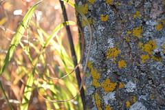 Wanuskewin fall 1 (Kristin Marie Enns-Kavanagh) Tags: saskatchewan photos photography nature sun autumn fall saskatoon wanuskewin tree bark lichen grass golden