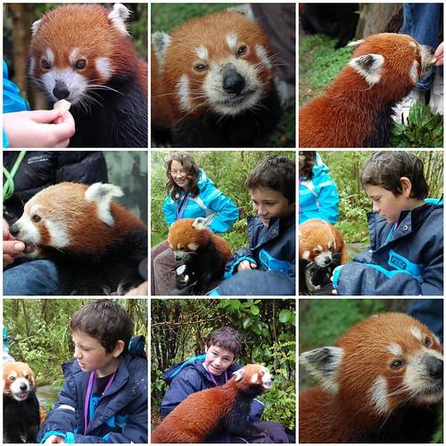 Red Panda mosaic