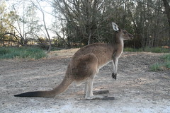 kangaroo in Heirisson Island (superholly0926) Tags: australia kangaroo perth causeway   perthcity heirissonisland