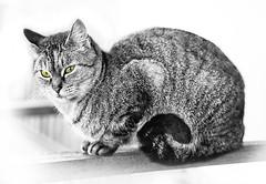 Cut & Out Cat (Juan Antonio Cap) Tags: animal cat canon kat feline chat gato felino katze mace  gatto  kot gat koka kedi ohhh kissa kttur maka kucing pusa mo moix    minino    pisic   canoneos5dmarkii