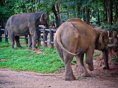 Слон без ноги