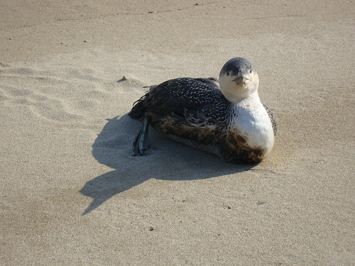 Sterntaucher, 아비, Red-throated Loon