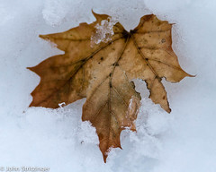 IMG_4095.jpg (jstritz) Tags: winter abstract leaves photoshow fhsp