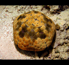 Cushion Star (Giuseppe Suaria) Tags: stella sea uw water marina canon indonesia island star marine wasser mare underwater pacific sub unter north under dive scuba diving housing diver fotografia cushion sulawesi mata sotto pulau pacifico nord manado external strobe isola karang celebes g11 sous bangka unterwasser plongee cuscino fotosub subacquea sottacqua stelladimare inon sousmarine culcita subacquee novaeguineae d2000 wpdc34 coraleye