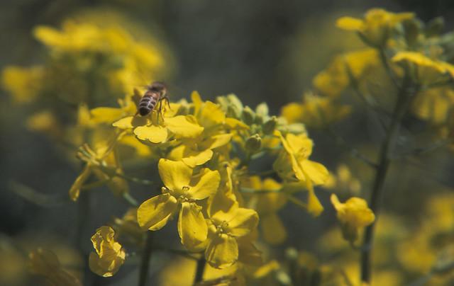 菜の花とハチのフリー写真素材