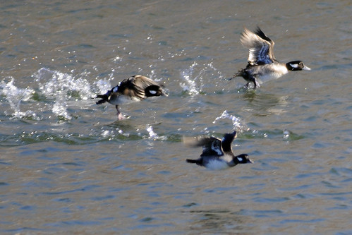 female buffleheads taking off