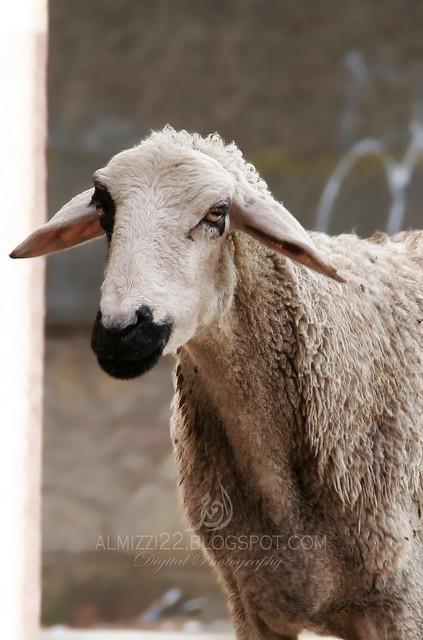 Goat 6 Mark