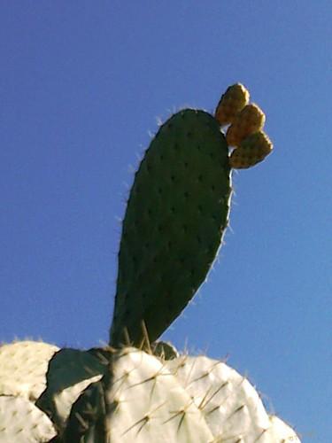 Opuntia ficus indica هندية