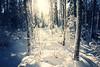 Shine a light (koinis) Tags: blue winter light 2 cold tree forest canon john mark sigma ii 5d 24mm 18 tone koinberg koinis
