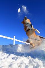 Fetch (olamorken) Tags: blue winter dog snow canon fence iceland skies 7d icelandic vestby icelandicsheepdog