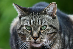 Max (kevman) Tags: brown green cat fur eyes feline tabby kitty ears whiskers auckland nz henderson 2011