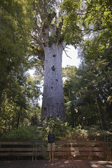 Tane Mahuta the largest remaining kauri tree in the NZ