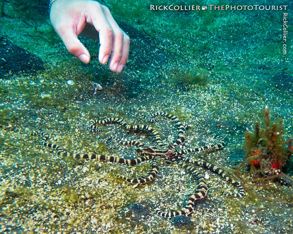 A divemaster waves to distract a mimic octopus on the sandy bottom in the Lembeh Strait
