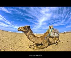 Camel (iPh4n70M) Tags: africa blue sky beach clouds photography photo sand nikon photographer photographie north sable du fisheye bleu camel ciel morocco photograph maroc tc nikkor nuages 16mm plage essaouira hdr nord afrique mogador photographe chameau 9xp d700 9raw tcphotography ph4n70m iph4n70m tcphotographie