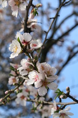 Almond Blossoms, So Sweet