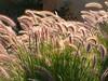 Grasses (Oldt1mer - Keith) Tags: lighting light sunlight holiday detail grass golden close redsea egypt grasses ornamental elgouna doublyniceshot tripleniceshot mygearandme mygearandmepremium mygearandmebronze mygearandmesilver mygearandmegold mygearandmeplatinum mygearandmediamond