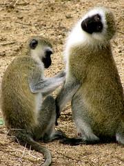 scratch my front (Frosty Crystalline) Tags: tanzania safari giraffes monkeys elephants baboons wildanimals manyaranationalpark digitalcameraclub