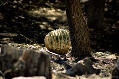 Madera Canyon Controled Burn-10 (E. A. Bartlett) Tags: arizona burn damage maderacanyon ferocactus wislizeni