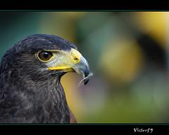 Rapace....... (sirVictor59) Tags: italy nikon europe italia d70 viterbo lazio falco rapace montaltodicastro centraliaperte sirvictor59 mygearandme