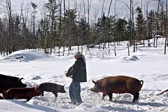 That a pregnant pig